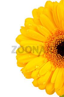 Nahaufnahme einer gelben Gerberablüte mit Wassertropfen