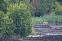Wolfsruede in Deutschland / Canis lupus