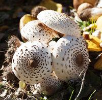 Young parasol mushrooms (Macrolepiota procera or Lepiota procera), ceps and suillus on background