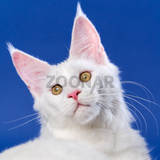 Close-up portrait of white color American Longhair Cat looking at camera