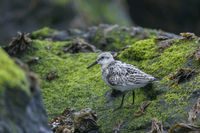 Ein Sanderling sucht auf einem Felsen zwischen Meersalat nach Nahrung