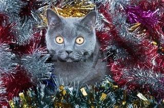 The British cat Christmas