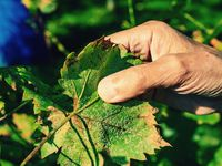 Winegrower examines a white aphid on the underside of a vine leaf.