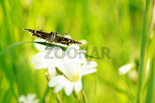 Kleiner Würfel-Dickkopffalter auf weißen Blumen II
