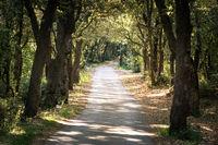 Old oak tree forest on peninsula Kalifront on Island of Rab Croatia
