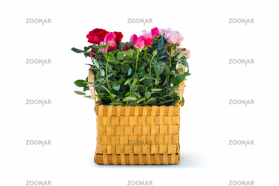 colorful chinese rose in flower basket