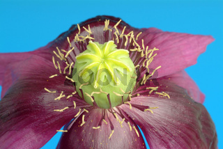 Blauer Schlafmohn, Blüte, Heilpflanze, Rauschmitte