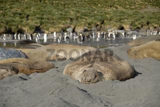 Seeelefant erholt sich am Strand, Suedgeorgien