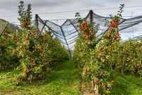 Apfelplantage mit roten, reifen Äpfeln