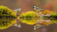 Great tit and eurasian blue tit standing on pond in fall