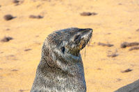 Cape Cross is the largest fur seal rookery