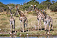 Giraffen, Etosha-Nationalpark, Namibia| giraffes, Etosha National Park, Namibia