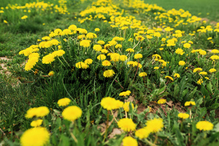 Garden with an endless field of yellow kulbaba flowers