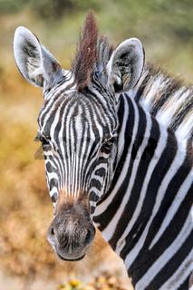 Zebra, Steppenzebra, Etosha, Namibia | Plains Zebra. Etosha NP, Namibia