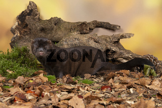 Brown european mink in a autumn forest setting seen from the side
