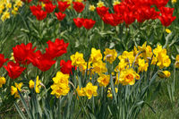 Gelbe Narzissen und rote Tulpen