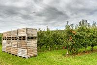 Apfelplantage am Bodensee