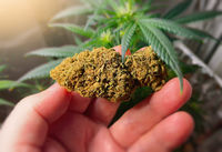 Hand holding large medical Marijuana flower bud against Cannabis plant legal own growing concept