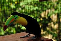 Toucan Bird in Zoo