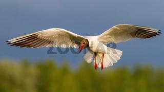 Black-headed gull with open beak in flight in summer