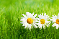 Chamomile flowers on grass
