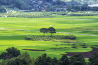 Hadong couple pine trees in rice paddy