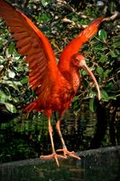 Scarlet ibis with open wings on magnolia leaves background at Oceanografic