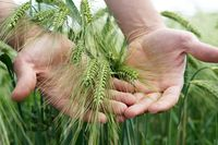 Farmers hands touches the grain rye plants on field farming agriculture corn