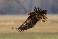 Young white-tailed eagle landing on field in autumn