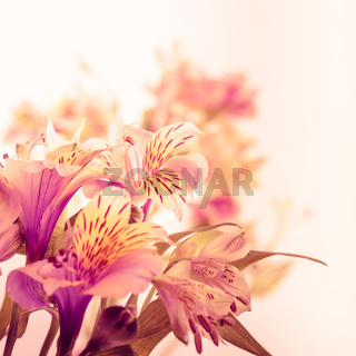 Pink alstroemeria isolated