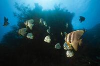 Langflossen-Fledermausfisch, Papua Neuguinea