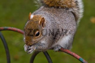 Grauhörnchen (Sciurus carolinensis) - Gray squirrel