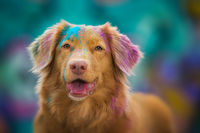 Duck tolling retriever dog on colorful background