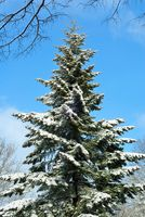 Snow-covered tall fir tree and blue sky