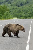 Dangerous wild brown bear walking along asphalt road