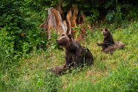 Family of brown bear playing on glade in summer nature