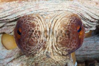 Augen Gemeiner Oktopus