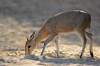 Feeding common duiker antelope (Sylvicapra grimmia)