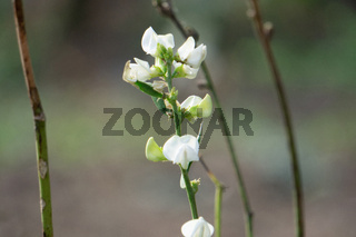 Closeup of flower of Phaseolus radiatus, Satara, Maharashtra, India
