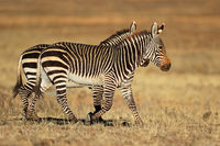 Cape mountain zebras (Equus zebra) in natural habitat