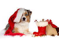 Dog, Australian Shepherd, with Santa Claus hat on his head, lying in front of Christmas gifts,