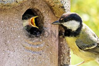 Juvenile  Kohlmeise wird im Nistkasten gefüttert