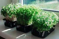 Indoor microgreens on the kitchen windowsill in the morning