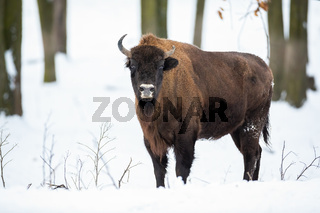 Huge adult european bison standing in the snowy forest in winter