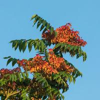 Die gefiederten Blätter und Früchte des Götterbaums