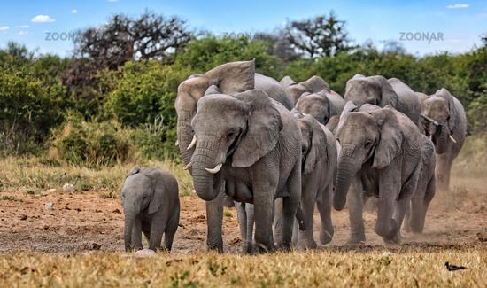 Elefantenherde, Etosha-Nationalpark, Namibia, (Loxodonta africana)