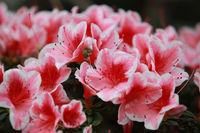 Azaleen - Blüten