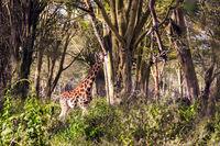 African savannah. The giraffe