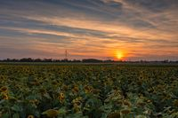 A huge field of yellow sunflowers at the late sunset with the orange glowing sun in the background - concept for idyllic nature in summer.