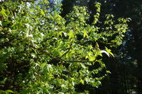 Liquidambar styraciflua, Amberbaum, american sweetgum